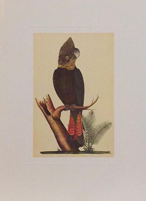 George Raper, Glossy Black-Cockatoo