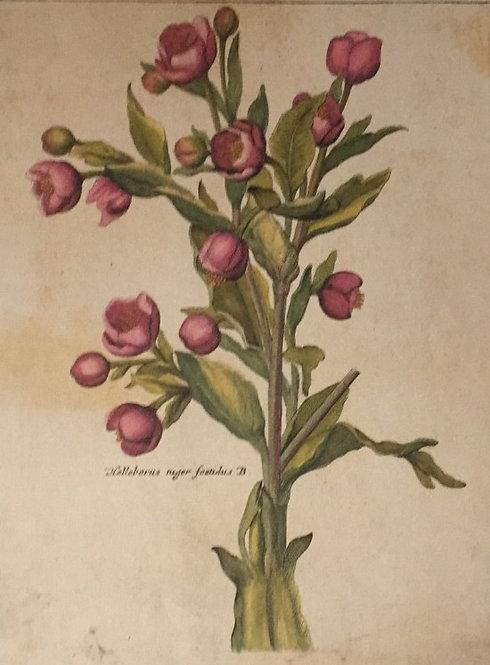 Botanical Print, Plate 8