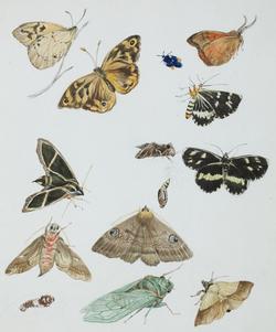 Louisa Atkinson, butterflies