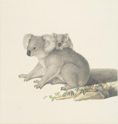 Ferndinand Bauer, Koala, Phascolarctos c
