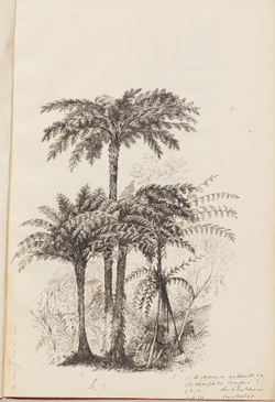 Louisa Atkinson, Ferns, 1855-72 (from sk