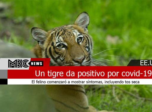 Un tigre del zoológico del Bronx, en Nueva York, da positivo por covid-19