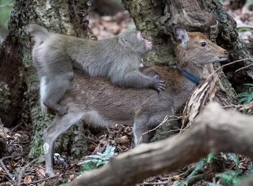 Un mono 'cabalgando' a lomos de un ciervo