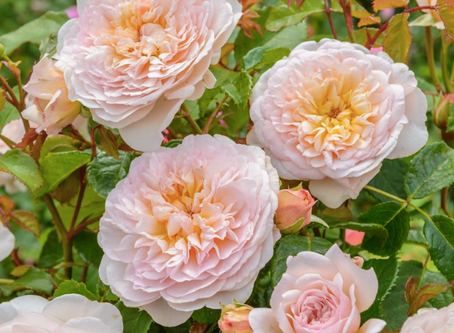 Our David Austin Roses Selection 2020