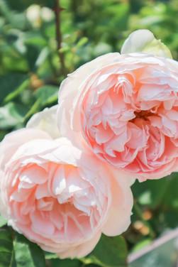 Roses at Deepdale Garden Centre.jpg
