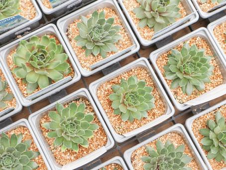 New In! Sempervivum Collection