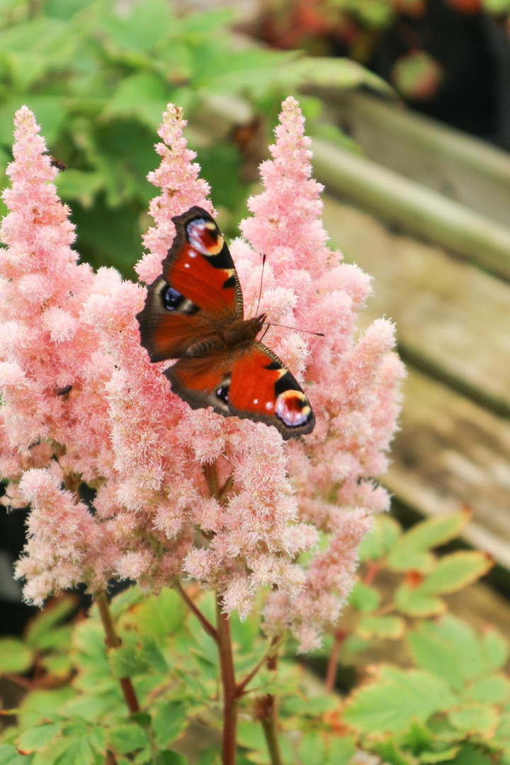 Astilbe with Butterfly at Deepdale Garde
