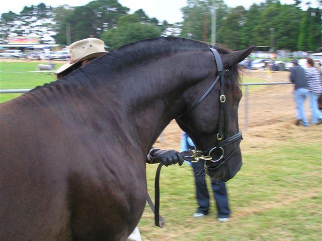Varekai,+black+Waler+stallion+15.2++Medium+type