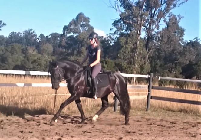 Wedgetail Varekai waler stallion