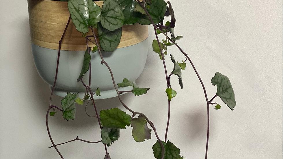 Senecio Overig Hanging Plant