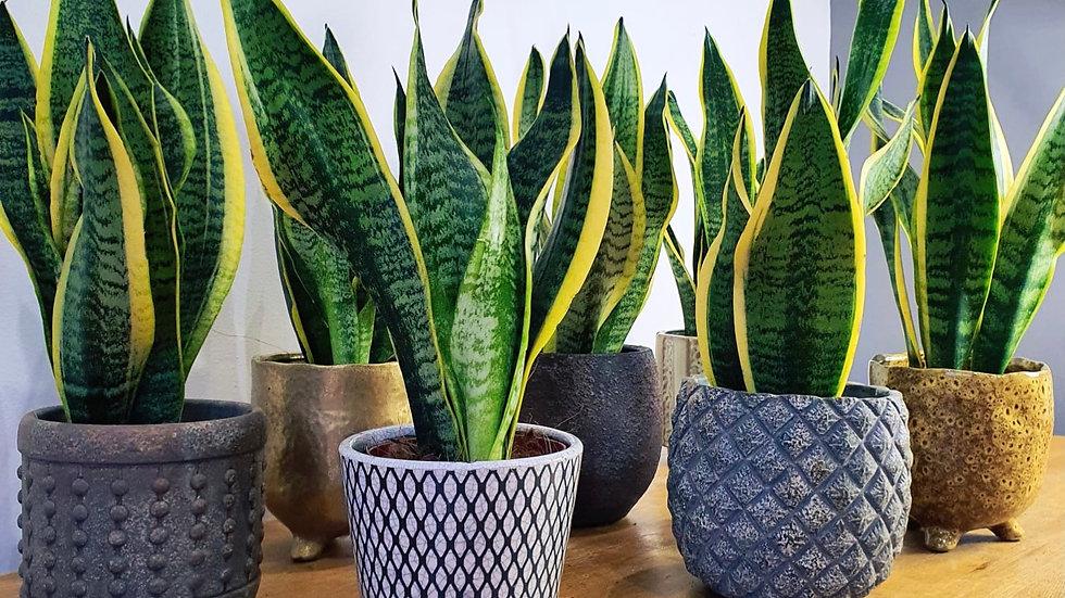 Sansevieria Futura Superba Plant