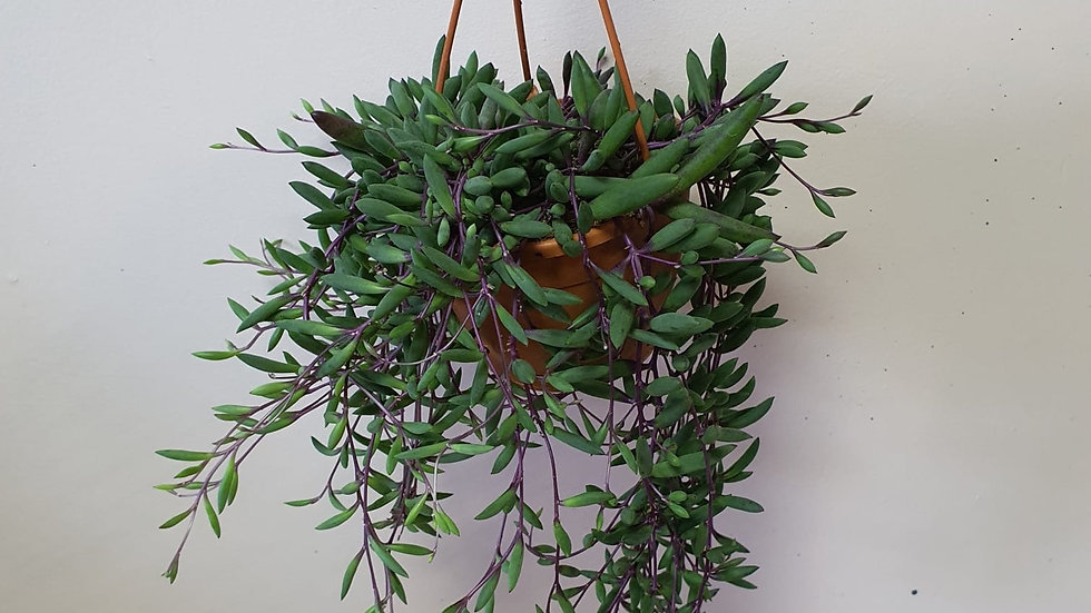 Senecio Royal Flush - String of Bananas
