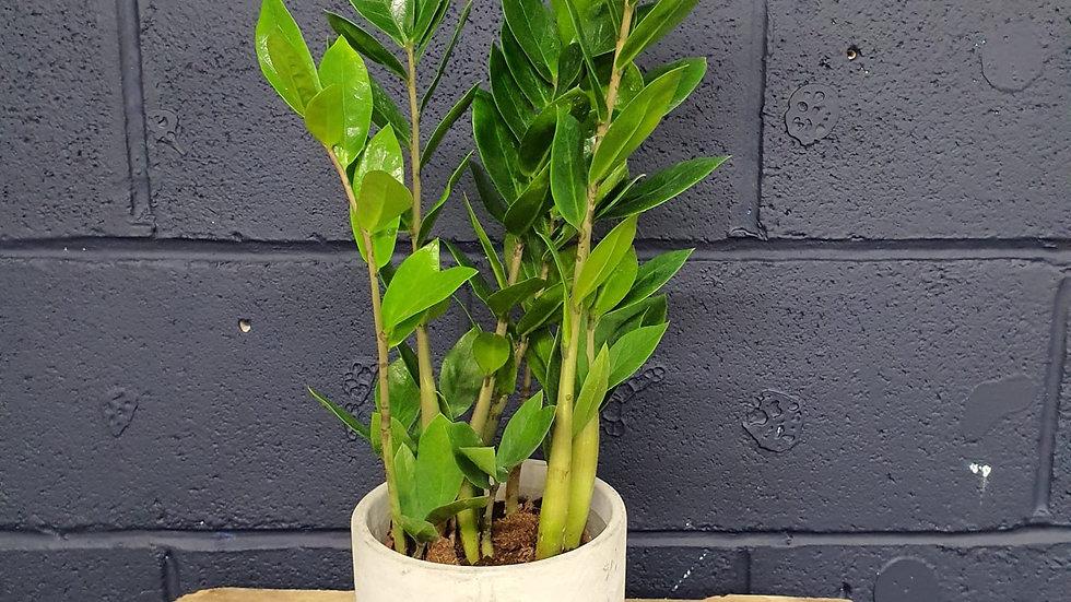 Zamioculcas Zamiifolia (Stone Pot)