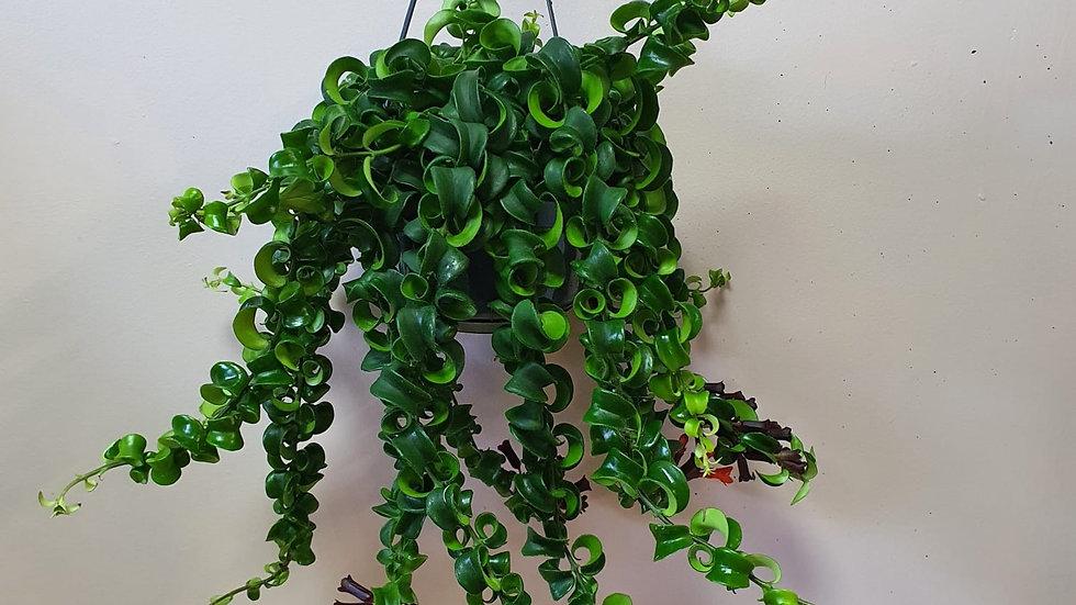 Aeschynanthus Rasta - Lipstick Plant
