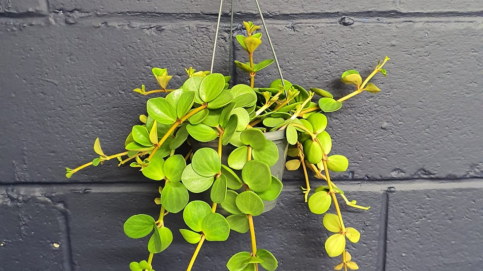 Peperomia Hope Hanging Plant