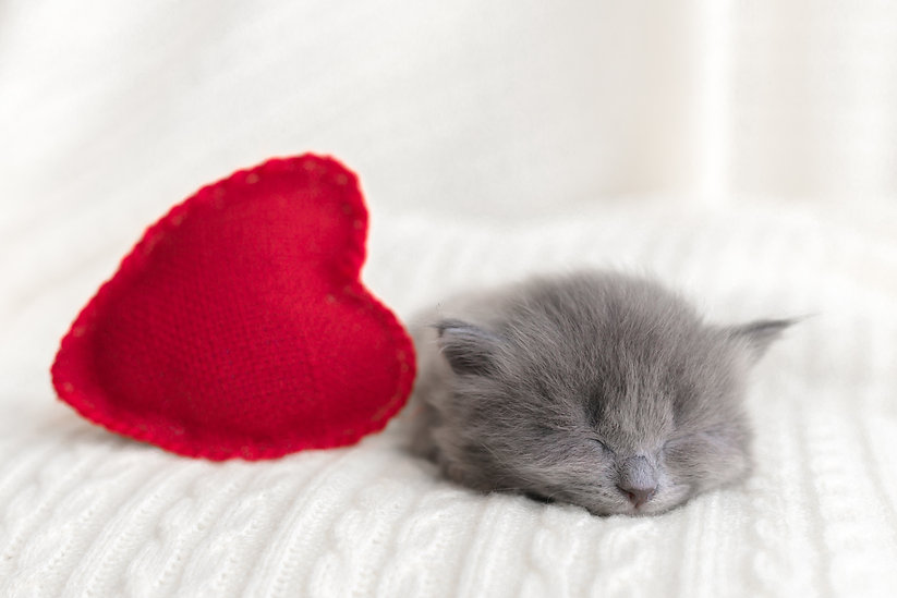 little cute gray kitten cat briton sleep