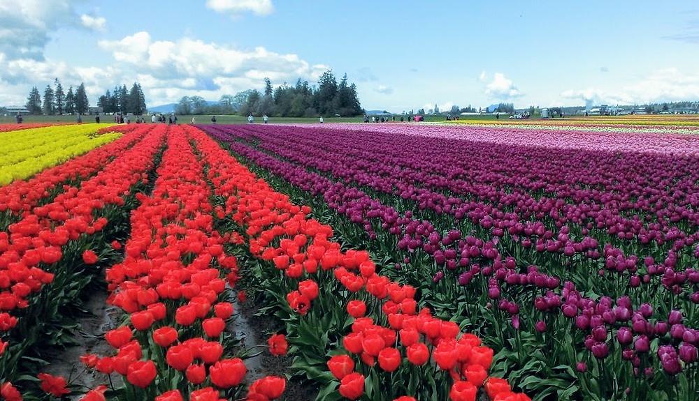 Skagit Valley Tulip Festival