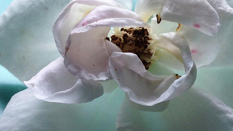 Rose Blush B