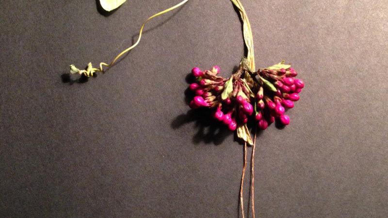 Moonflower Milkweed