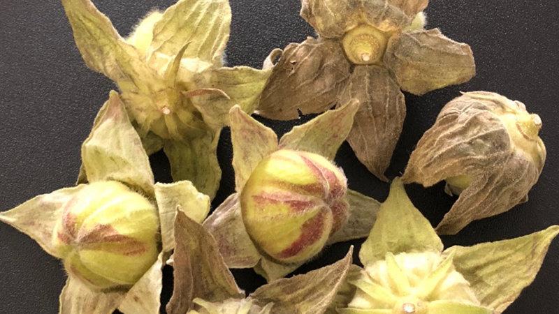 Hibiscus Mutabilis Pods