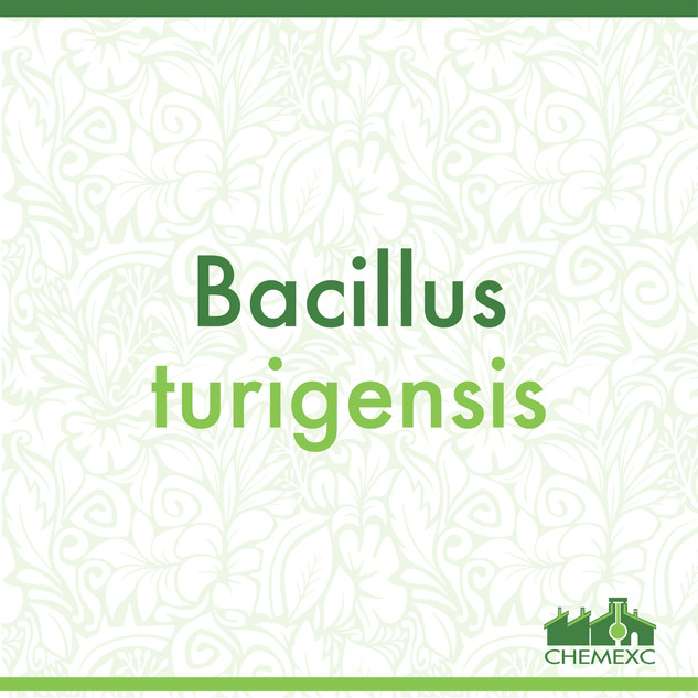 Bacillus turigensis