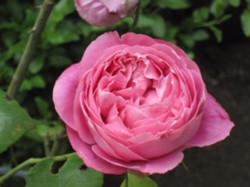 チロルのバラ