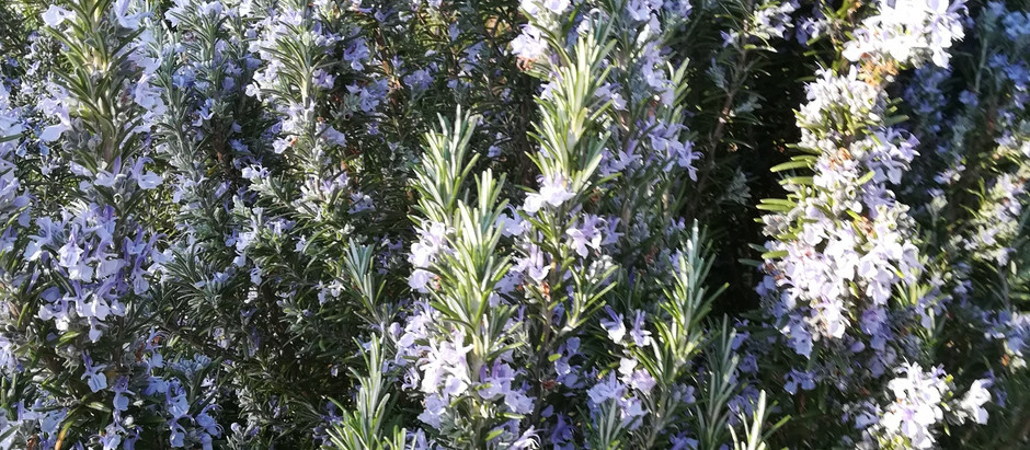 Rosmarin in voller Blüte