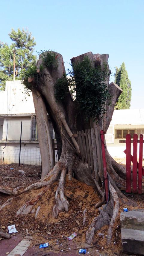 גזע עץ עתיק.jpg