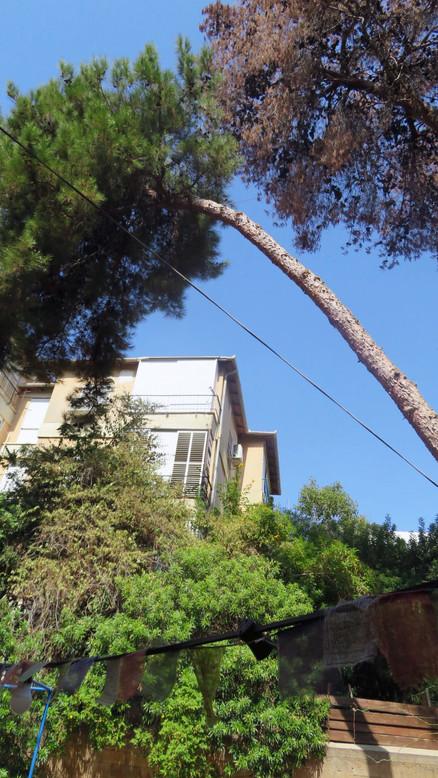 מדידת זווית עץ נטוי בסקר עצים.jpg