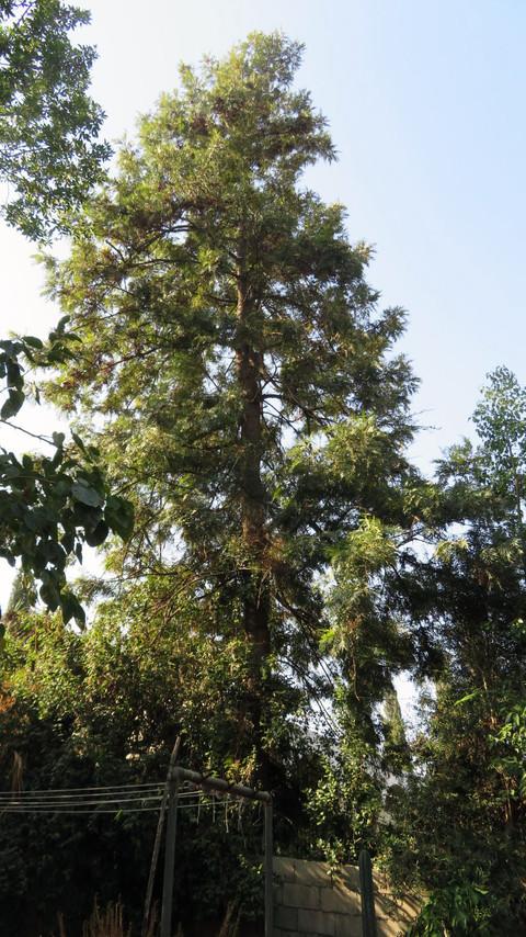 עץ גרוויאלה חסונה.jpg