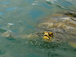 Auf der Cayman Turtle Farm
