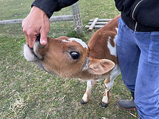Feeding-a-cow.jpg
