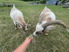 Goats-in-BC.jpg