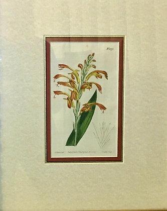Antique Hand Colored Etching 1809 Curtis Botanical Garden Flower Framed Fine Art