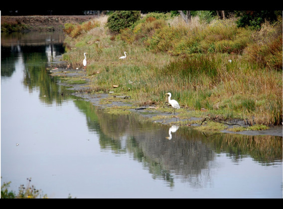 20111104 Downstream Egrets.jpeg