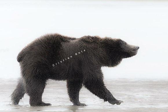Cristian Rota, Alaska Land of grizzly