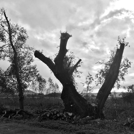 Pollarded Willow by the Ouse