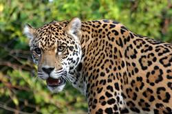 171201-jaguar-800x533-atiempo.mx_