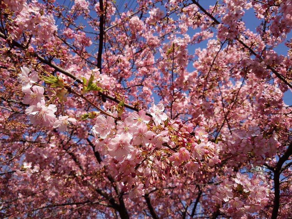 春 桜 満開 フローリング 山桜 サクラ
