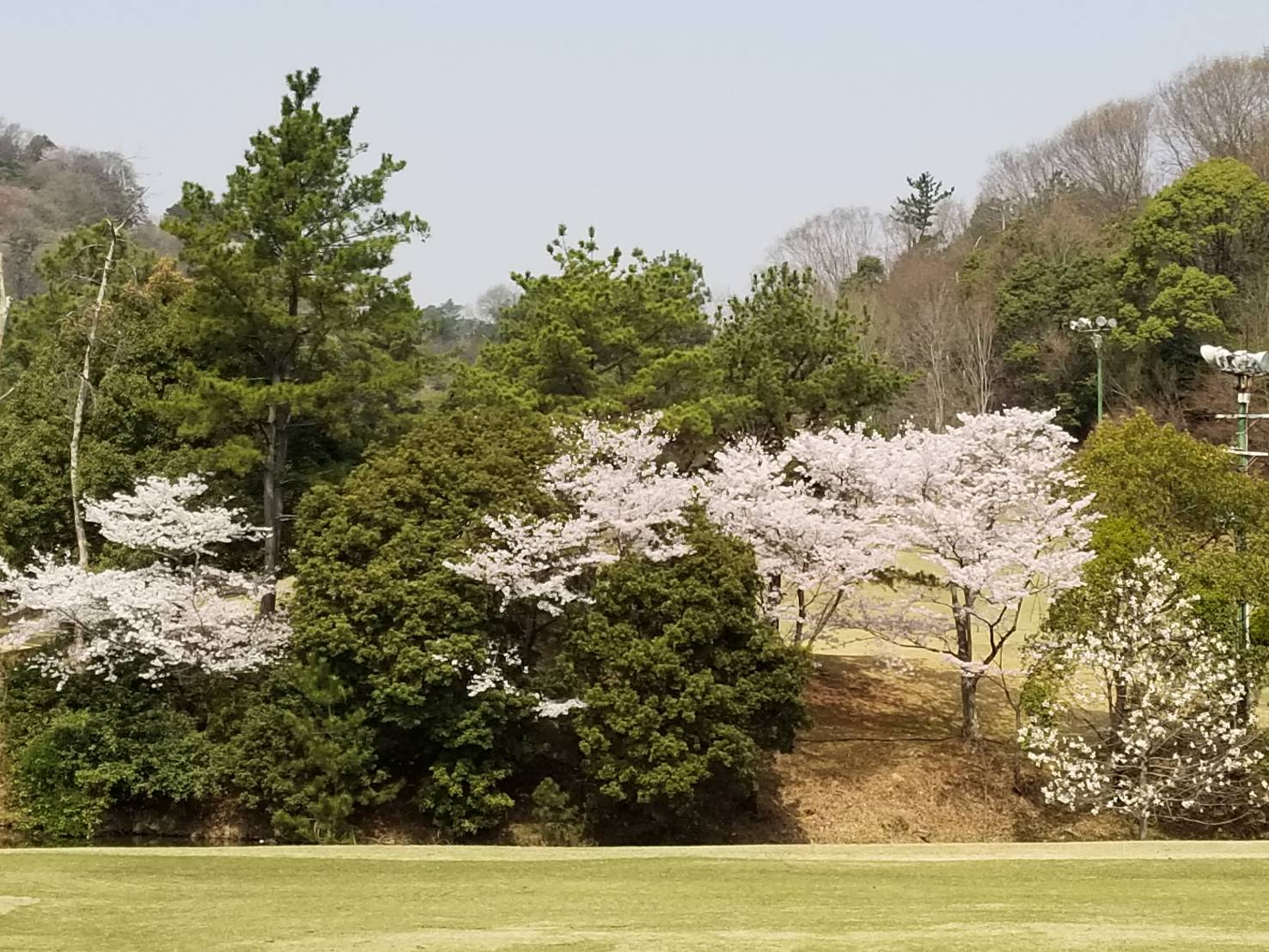 桜満開ゴルフ