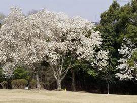 春のゴルフ場
