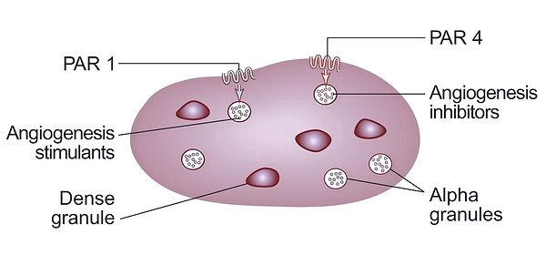Alfa Granül, Alpha Granules, Trombocyts, Trombosit, Platelet, PRP Tedavi Mekanizması, PRP Saç Tedavii