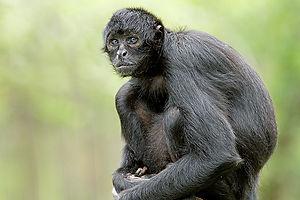 Columbian black spider monkey.jpeg