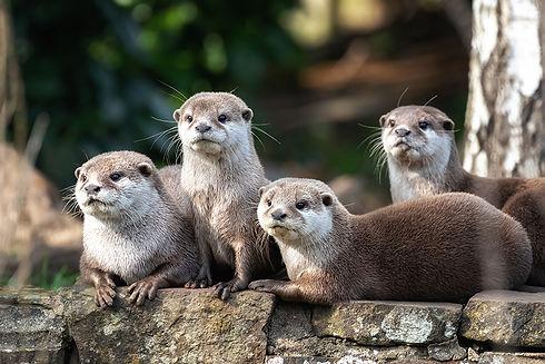 Asian short clawed otters smaller.jpg