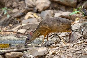 Mouse Deer smaller.jpg