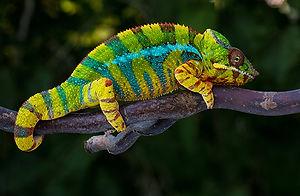 Panther Chameleon smaller.jpg