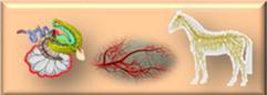Nerven, Blutgefäße, Lymphsystem.png