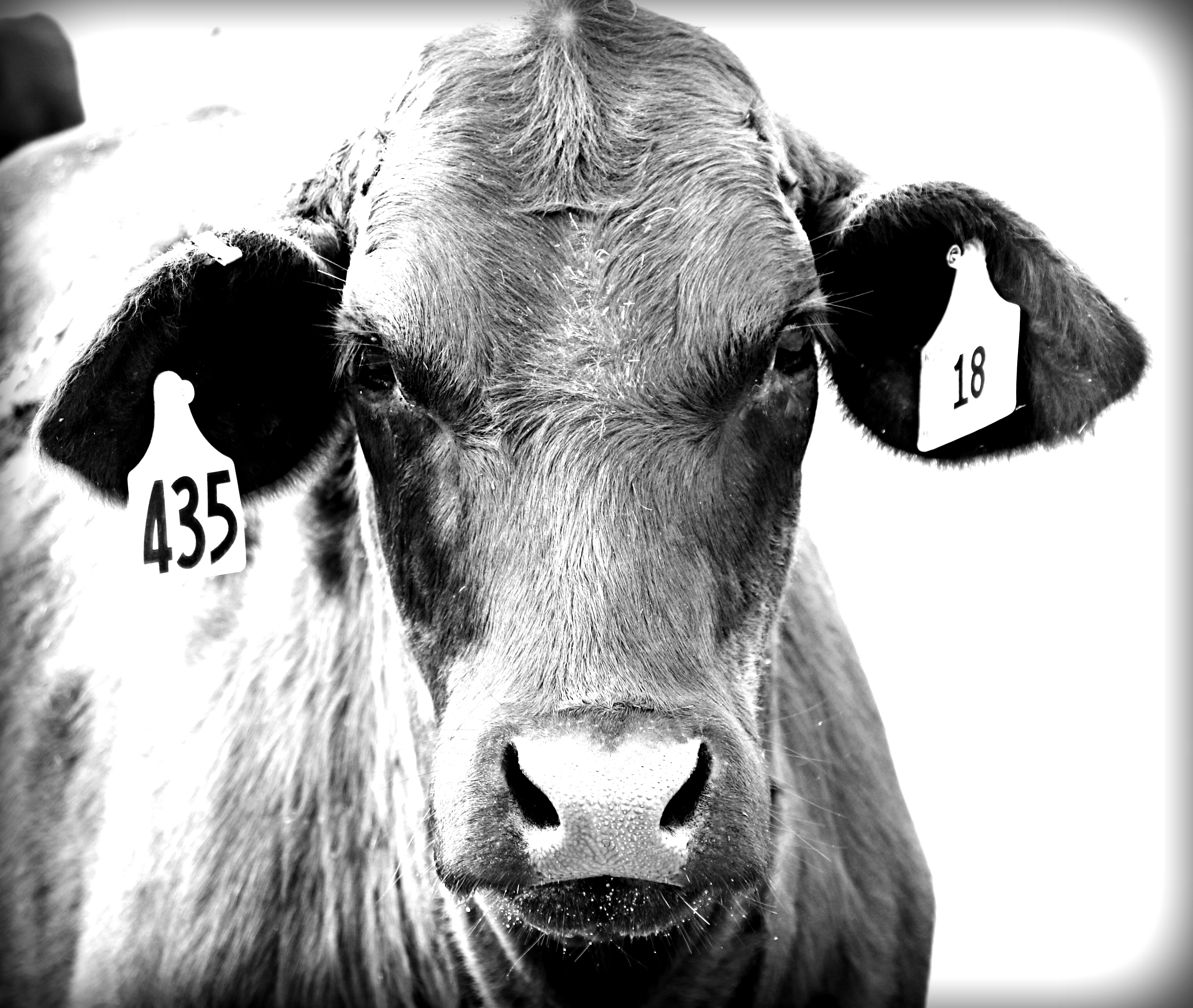 BW 435 cow