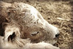 sleepy bull char