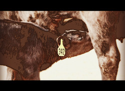 calf 342